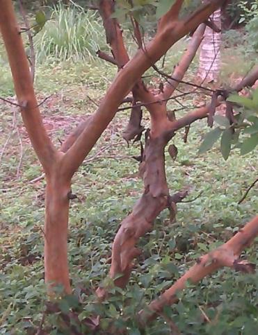 kayu jambu 2